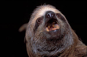 Brown-throated Three-toed Sloth (Bradypus variegatus) portrait with open mouth, showing degenerate teeth. Captive. Aviarios del Caribe Sloth Sanctuary, Costa Rica.  -  Roland Seitre