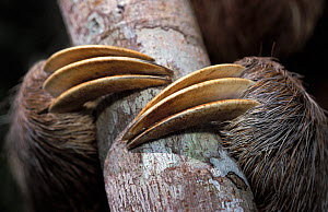 Brown-throated Three-toed Sloth (Bradypus variegatus) claws around a branch; effective both as climbing-hooks and as defensive weapons against the sloths' main predator, the jaguar. Captive. Aviarios...  -  Roland Seitre