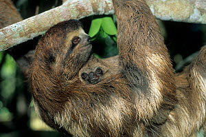 Brown-throated Three-toed Sloth (Bradypus variegatus) mother hanging from branch with baby on her chest. Captive. Aviarios del Caribe Sloth Sanctuary, Costa Rica.  -  Roland Seitre