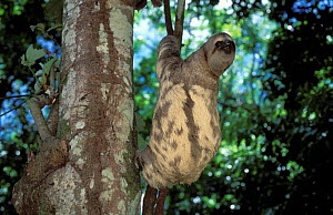 Brown-throated Three-toed Sloth (Bradypus variegatus) by tree trunk, showing the bark-mimicking colouration of its fur. Captive. Aviarios del Caribe Sloth Sanctuary, Costa Rica.  -  Roland Seitre