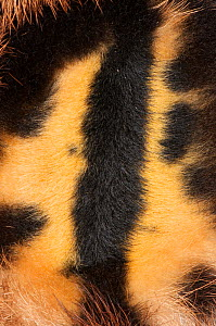 Close-up of fur pattern markings of the Brown-throated Three-toed Sloth (Bradypus variegatus).   Aviarios del Caribe Sloth Sanctuary, Costa Rica, 2008.  -  Roland Seitre