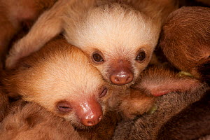 Two baby Hoffman's Two Toed Sloth (Choloepus hoffmanni).   Aviarios del Caribe Sloth Sanctuary, Costa Rica, 2008.  -  Roland Seitre