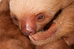 Baby Hoffman's Two Toed Sloth (Choloepus hoffmanni) sucking its claw.   Aviarios del Caribe Sloth Sanctuary, Costa Rica, 2008.  -  Roland Seitre