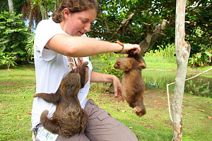 Volunteer exercising young Two-toed Sloths (Choloepus hoffmanni) at the sloth orphanage.   Aviarios del Caribe Sloth Refuge, Costa Rica, 2008.  -  Roland Seitre