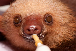 Baby Two-toed Sloth (Choloepus hoffmanni) being bottle fed.   Aviarios del Caribe Sloth Refuge and orphanage, Costa Rica, 2008.  -  Roland Seitre