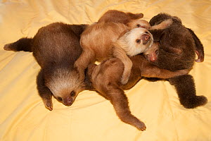 Young Two-toed Sloths (Choloepus hoffmanni) playing at the sloth orphanage.   Aviarios del Caribe Sloth Refuge, Costa Rica, 2008.  -  Roland Seitre