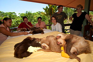 Young Two-toed Sloths (Choloepus hoffmanni) playing at the sloth orphanage, watched by volunteers.   Aviarios del Caribe Sloth Refuge, Costa Rica, 2008.  -  Roland Seitre