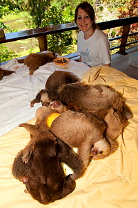 Young Two-toed Sloths (Choloepus hoffmanni) playing the sloth orphanage, watched by volunteer.   Aviarios del Caribe Sloth Refuge, Costa Rica, 2008.  -  Roland Seitre
