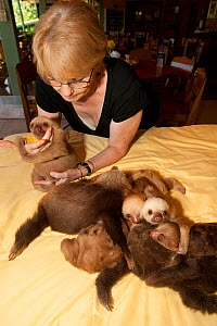 Young Two-toed Sloths (Choloepus hoffmanni) playing at the sloth orphanage, watched by volunteer.   Aviarios del Caribe Sloth Refuge, Costa Rica, 2008.  -  Roland Seitre