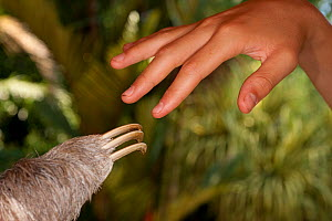 Brown-throated Three Toed Sloth (Bradypus variegatus) claws next to human hand at the sloth orphanage.   Aviarios del Caribe Sloth Refuge, Costa Rica, 2008.  -  Roland Seitre