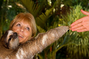 Brown-throated Three Toed Sloth (Bradypus variegatus) held by the orphanage owner, Judy Avey-Arroyo. Reaching out arm to human hand. Aviarios del Caribe Sloth Refuge, Costa Rica, 2008.  -  Roland Seitre