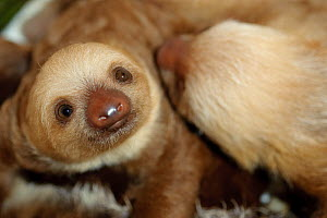 Hoffmann's Two Toed Sloths (Choloepus hoffmanni) babies.  Aviarios del Caribe Sloth Refuge, Costa Rica, 2008.  -  Roland Seitre