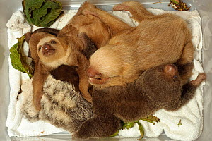 Young Two-toed Sloths (Choloepus hoffmanni) and Brown-throated Three Toed Sloths babies in a box at the sloth orphanage.   Aviarios del Caribe Sloth Refuge, Costa Rica, 2008.  -  Roland Seitre