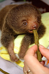 Hoffmann's Two Toed Sloth (Choloepus hoffmanni) baby being fed.   Aviarios del Caribe Sloth Refuge, Costa Rica, 2008.  -  Roland Seitre
