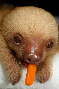 Hoffmann's Two Toed Sloth (Choloepus hoffmanni) baby with food in mouth.   Aviarios del Caribe Sloth Refuge, Costa Rica, 2008.  -  Roland Seitre