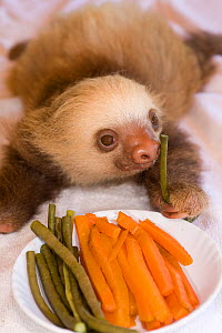 Hoffmann's Two Toed Sloth (Choloepus hoffmanni) baby with plate of vegetables.  Aviarios del Caribe Sloth Refuge, Costa Rica, 2008.  -  Roland Seitre
