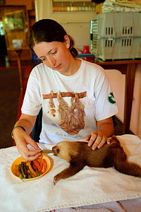 Hoffmann's Two Toed Sloth (Choloepus hoffmanni) baby being fed  vegetables by volunteer.  Aviarios del Caribe Sloth Refuge, Costa Rica, 2008.  -  Roland Seitre