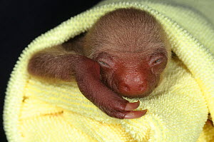 Hoffmann's Two Toed Sloth (Choloepus hoffmanni) baby wrapped in cloth. Aviarios del Caribe Sloth Refuge, Costa Rica, 2008.  -  Roland Seitre