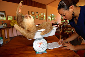Hoffman's Two Toed Sloth (Choloepus hoffmanni) being weighed and recorded.   Aviarios del Caribe Sloth Refuge, Costa Rica, 2008. - Roland Seitre