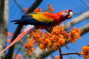 Central American Scarlet Macaw (Ara macao cyanoptera) feeding on flowers. La Marina Wildlife Rescue Center, Costa Rica.  -  Roland Seitre