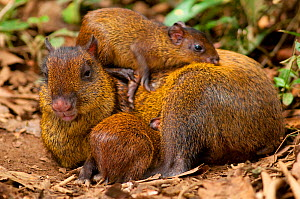 Central American Agouti (Dasyprocta punctata) mother resting with young.  La Marina Wildlife Rescue Center, Costa Rica.  -  Roland Seitre