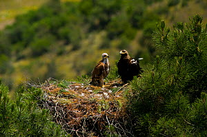 Spanish Imperial Eagle (Aquila adalberti) adult and chick on nest. Breeding group being monitored for the Andalusian conservation project. Sierra Morena, Andujar, Spain, June 2008.  -  Roland Seitre