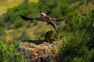 Spanish Imperial Eagle (Aquila adalberti) adult taking flights from chick on nest. Breeding group being monitored for the Andalusian conservation project. Sierra Morena, Andujar, Spain, June 2008.  -  Roland Seitre