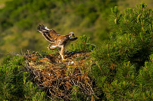 Spanish Imperial Eagle (Aquila adalberti) chick exercising wings on the nest. Breeding group being monitored for the Andalusian conservation project. Sierra Morena, Andujar, Spain, June 2008.  -  Roland Seitre