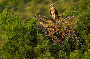 Spanish Imperial Eagle (Aquila adalberti) chick on the nest. Breeding group being observed for the Andalusian conservation project. Sierra Morena, Andujar, Spain, June 2008.  -  Roland Seitre