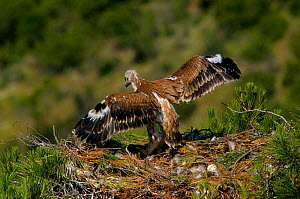 Spanish Imperial Eagle (Aquila adalberti) chick exercising wings on the nest. Breeding group being observed for the Andalusian conservation project. Sierra Morena, Andujar, Spain, June 2008.  -  Roland Seitre
