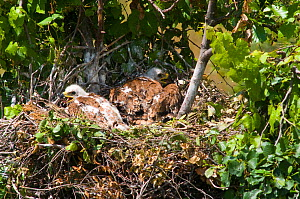 Spanish Imperial Eagle (Aquila adalberti) chicks on the nest. Breeding group being observed for the Andalusian conservation project. Sierra Morena, Andujar, Spain, June 2008.  -  Roland Seitre