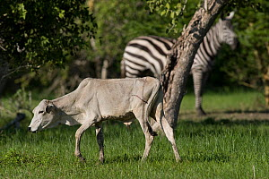 Asiatic Cattle (Bos indicus) and Grant's Zebra (Equus quagga boehmi). Tana River District, Kenya.  -  Roland Seitre