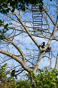Peter's Angola Colobus Monkeys (Colobus angolensis palliatus) in canopy, with a rope bridge between trees to allow the monkeys to cross a road safely. Kenya, Africa.  -  Roland Seitre