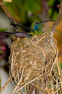 Green Violet-ear Hummingbird (Colibri thalassinus) sitting on nest. Savegre, Cerro de la Muerte, Costa Rica.  -  Roland Seitre