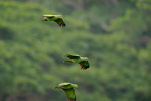 Mealy Amazon Parrots (Amazona farinosa) in flight. Gamboa, Panama city region, Canal rainforest, Panama.  -  Roland Seitre