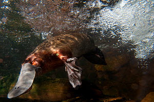 Platypus (Ornithorhynchus anatinus) underwater. Captive. Australian Reptile Park, Gosford, New South Wales. - Roland Seitre
