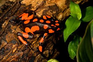 Harlequin Poison Dart Frog (Oophaga histrionica), red spotted morph. Captive. Cali Zoo, Cali, Colombia. - Roland Seitre