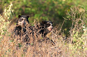 Spectacled Bear (Tremarctos ornatus) cubs seen through grass. Captive. Chaparri reserve, Chiclayo, Lambayeque, Peru 2010. - Roland Seitre