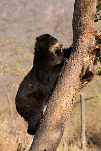 Spectacled Bear (Tremarctos ornatus) climbing tree, with tongue out. Captive. Chaparri reserve, Chiclayo, Lambayeque, Peru, 2010. - Roland Seitre