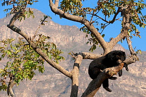 Spectacled Bear (Tremarctos ornatus) resting in tree against mountain landscape. Captive. Chaparri reserve, Chiclayo, Lambayeque, Peru, 2010. - Roland Seitre