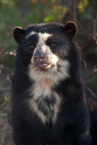 Spectacled Bear (Tremarctos ornatus) portrait. Captive. Chaparri reserve, Chiclayo, Lambayeque, Peru, 2010. - Roland Seitre
