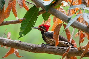 Guayaquil Woodpecker (Campephilus gayaquilensis). Chaparri reserve, Chiclayo, Lambayeque, July. - Roland Seitre