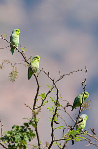 Pacific Parrotlets (Forpus coelestis). Chaparri reserve, Chiclayo, Lambayeque, Peru, July. - Roland Seitre