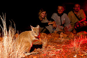 Visitors of the Nocturnal Tour watching Rufous Hare-wallaby (Lagorchestes hirsutus). Captive. Desert Park, Alice Springs, Northern Territory.  -  Roland Seitre