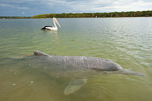 Australian humpback dolphin (Sousa sahulensis)  at surface with pelican. Tin Can Bay, Queensland, Australia, September.  -  Roland  Seitre