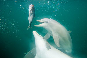Indian Ocean Bottlenose Dolphins (Tursiops aduncus) feeding on bait fish. Whyalla, South Australia.  -  Roland Seitre