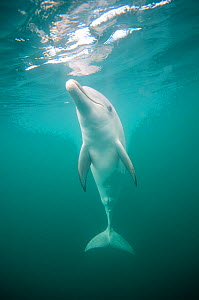 Indian Ocean Bottlenose Dolphin (Tursiops aduncus) at sea surface. Whyalla, South Australia.  -  Roland Seitre