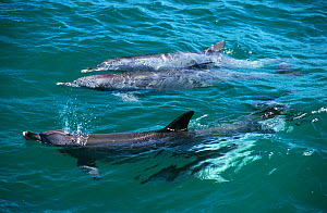 Indian Ocean Bottlenose Dolphin (Tursiops aduncus) under water surface. Whyalla, South Australia.  -  Roland Seitre