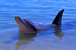 Indian Ocean Bottlenose Dolphin (Tursiops aduncus) with head and dorsal fin above water. Monkey Mia, Western Australia.  -  Roland Seitre