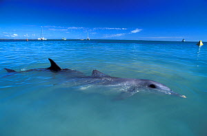 Indian Ocean Bottlenose Dolphins (Tursiops aduncus) at sea surface with boats on the horizon. Monkey Mia, Western Australia.  -  Roland Seitre